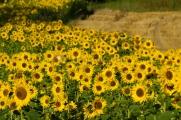 <h5>Auringonkukkia</h5><p>Auringonkukkapelto Tammisaaren maalaismaisemissa. Tunnus: img_5213</p>