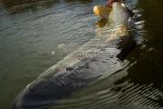 <h5>Iso hauki</h5><p>Mies vapauttaa suuren yli 10 kg hauen. Liian suuri ruokakalaksi. Tunnus: img_2302</p>