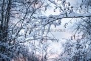 <h5>Jäätyneitä lumisia oksia</h5><p>Jouluaattona Oulunjoen varrella olevassa puistossa. Tunnus: img_5163</p>