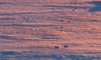 <h5>Jäljet lumessa</h5><p>Aamun ensimmäiset auringon säteet valaisevat kanin jäljet . Joulukuun ensimmäiset lumet. Tunnus: img_7257</p>