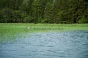 <h5>Kaislikko</h5><p>Kesäkuinen juuri täyteen mittaan kasvanut vihreä kaislikko. Todellinen haukikaislikko. Tunnus: img_2765</p>