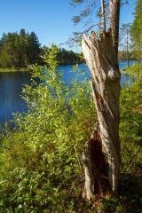 <h5>Kelopuu</h5><p>Vanha kelottunut puunpuolikas Pohjois-Karjalassa. Tunnus: img_2958</p>