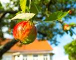 <h5>Kypsä omena puussa</h5><p>Kartanon pihalla kasvanut omenapuu antaa satoa. Tunnus: img_5039</p>