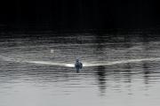 <h5>Uiva lokki</h5><p>Tyynellä merellä uiva lokki jättää pienet aallot taaksensa. Tunnus: img_1329</p>