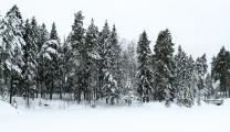 <h5>Luminen metsä</h5><p>Lumi peittää kuusimetsän. Tunnus: img_8592</p>