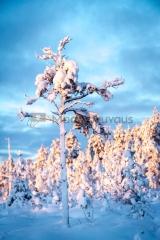 <h5>Luminen puu</h5><p>Suometsässä kasvava pieni luminen mänty. Tunnus: img_5212</p>