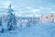<h5>Lumiset puut</h5><p>Talvimaisema Lapista. Tunnus: img_5192</p>
