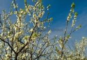 <h5>Luumupuu</h5><p>Luumupuut ovat kauneimmillaan vain viikon verran ja sitten alkavat muodostaa hedelmää. Tunnus: img_2592</p>