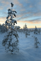 <h5>Luminen mänty</h5><p>Auringonlasku kajastaa lumisen männyn takaa. Tunnus: img_5223</p>