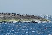 <h5>Meriharakoita luodolla</h5><p>Iso parvi meriharakoita on luodolla toukokuussa Helsingin edustalla. Tunnus: img_1991</p>