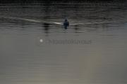 <h5>Merilokki ui iltahämärässä</h5><p>Aurinko on laskemassa ja lokki ui tyynessä meressä jättäen jälkeensä hennon auran. Tunnus: img_1331</p>