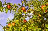 <h5>Omenoita puussa</h5><p>Kypsiä omenoita suomalaisessa puutarhassa.</p>