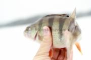 <h5>Ahven talvella</h5><p>Pilkkiongella kalastettu ahven Porvoon saaristosta. Tunnus: img_0061</p>