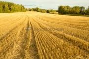 <h5>Puitu pelto</h5><p>Vasta puitu pelto Raaseporissa syyskuussa. Tunnus: img_5136</p>