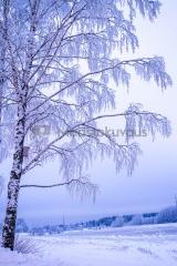 <h5>Puu kuurassa</h5><p>Kuura oli peittänyt Helsingin Haltialan lähiseudun puut eräänä kylmänä talviaamuna. Tunnus: img_8504</p>