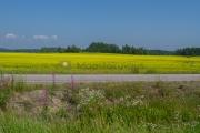 <h5>Rypsi kukkii</h5><p>Maalaismaisemaa kesäkuussa, kun pellot ovat keltaisenaan rypsien kukista. Tunnus: img_3115</p>