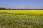 <h5>Rypsipelto</h5><p>Kesäkuista maalaismaisemaa Porvoosta rypsin kukkimisen aikaan. Tunnus: img_3117</p>