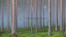 <h5>Usva metsässä</h5><p>Onko tämä sitä kuuluisaa lonkerosumua? Tunnus: img_0042</p>