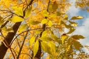 <h5>Vaahteran lehtiä syksyllä</h5><p>Ruskan värittämiä vaahteranlehtiä. Tunnus: img_4635</p>