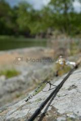 <h5>Virveli kalliolla</h5><p>Virveli odottaa kalastajaa Tammisaaressa. Tunnus: img_3967</p>
